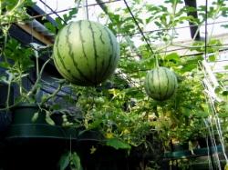 Zucche e meloni in balcone abitareverde for Coltivare meloni